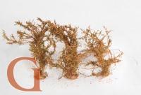Mittlere Sträucher, blühend, orange