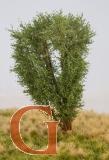 Laubbaum, 13 cm, savannengrün